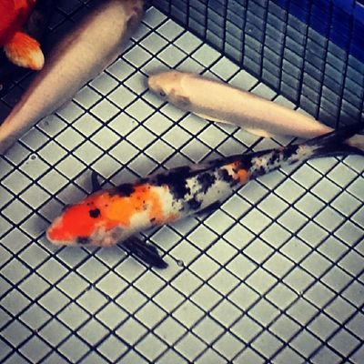 Our favorite Koi is still busy swimming around with his pals.