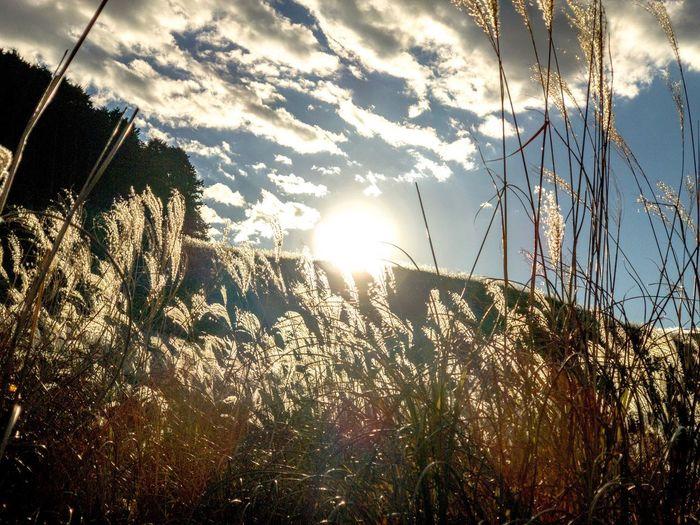 立ち上がると、それなりに眩しい。 EyeEm Nature Lover Pampas Grass Japanese  Sunset Silhouettes Sunset Backlight Sun Sunlight Sunbeam Lens Flare Nature Tranquility Scenics No People Beauty In Nature Tranquil Scene Sky Outdoors Low Angle View Cloud - Sky Sunset Growth Day