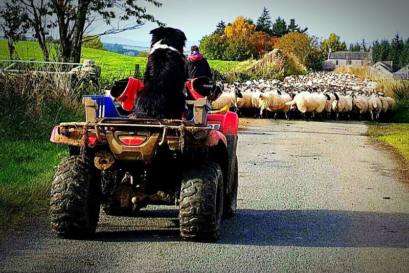 Taking Photos One Man And His Dog Sheep Dog Sheep🐑 Sheep@Work Farm Life Sheep Herding Country Life Sanquhar Scotland Enjoying Life Country Living Farm Animals Farmporn At Work My Country Life Countryside Country Living 🚜🌾🌽 Country Life! Capture The Moment