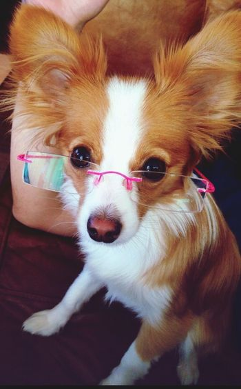 Smart Puppy Ilovemydog I Love My Dog Cute Puppy Puppy Papillon Funny Puppy coco