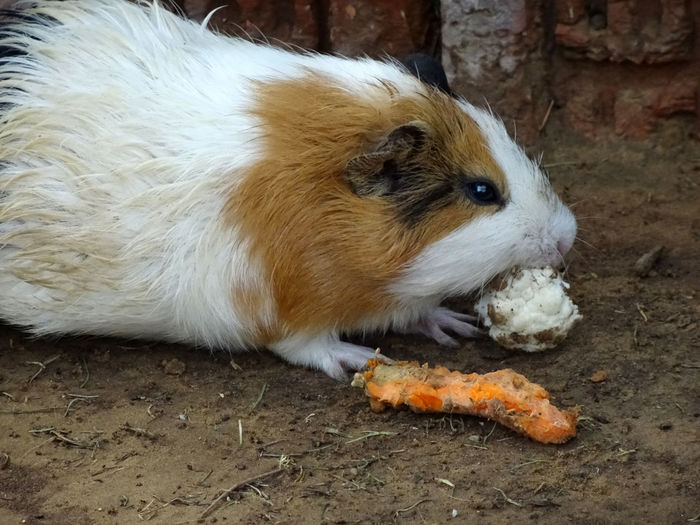 Guinea Pigs Animal Themes Black Hair Brown Hair Close-up Day Domestic Animals Feeding Animals Guinea Pig Mammal Mealtime Nature Nature Photography No People One Animal Outdoor Photography Outdoors Pets Rakeshtiwari Wildlife & Nature Wildlife Photography