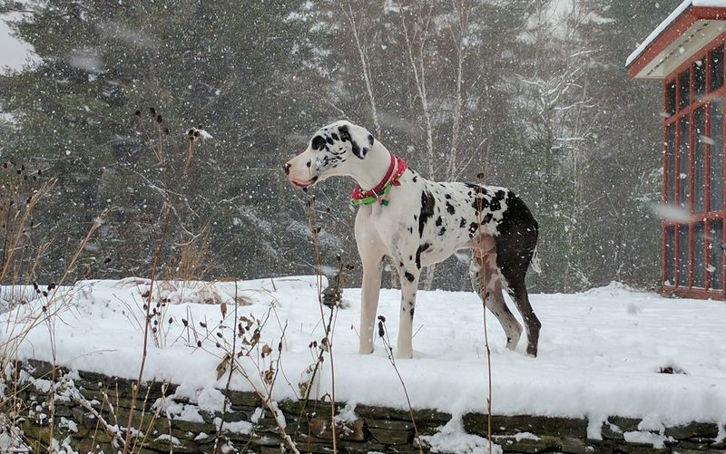 Big boy paying in the snow!! Spotted Dog Animal Themes Tree Mammal Portrait Outdoors Nature Day Snowing Great Dane Winter Weather Pixel Xl Google Pixel XL Massachussets Montgomerey Cold Temperature