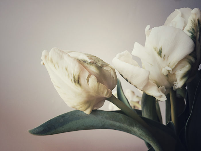 White tulips with green markings Beauty In Nature Close-up Copy Space Filtered Image Flowers Foliage Freshness Green Color Growth Indoors  Natural Light No People Petals Phone Camera Plant Spring Stem Symbol Textures Tulips White Color