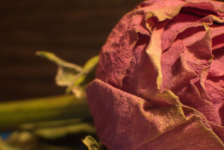 Withered Flower Rose🌹 Deadhead Macroflower Close Up Dead Beauty Macrophotography Macroflower Nature No People Flower Plant Day Close-up Outdoors Flower Head Beauty In Nature Fragility Mammal