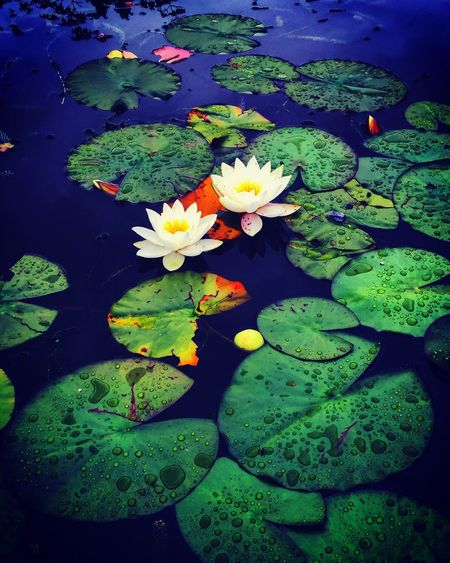 Lilly Pads Water Lily Floating On Water Water Pond Lotus Water Lily Simplicity Beauty In Nature