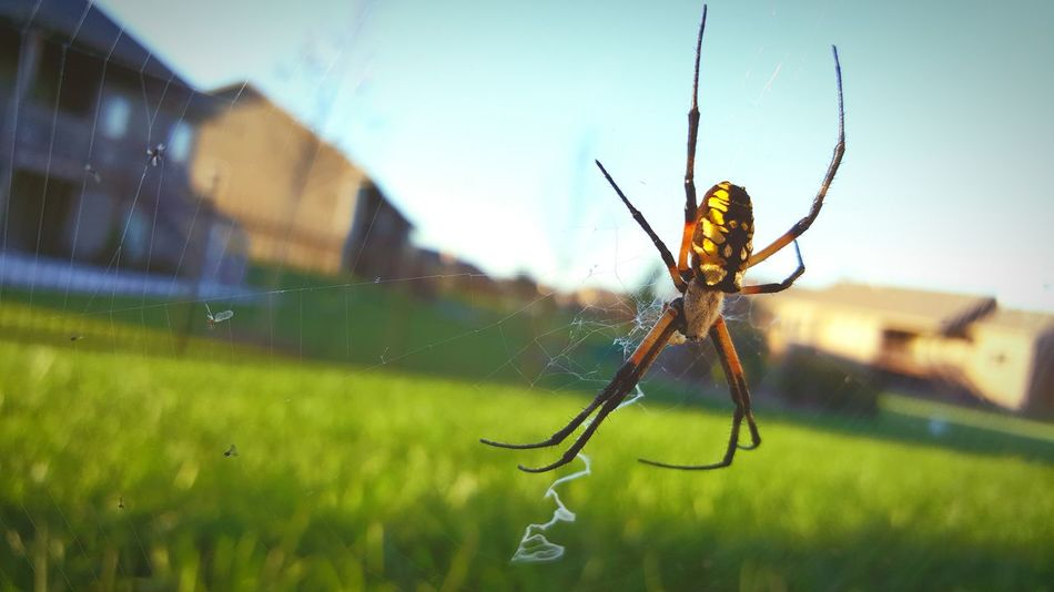 Nature Spider Argiope Black And Yellow  Web