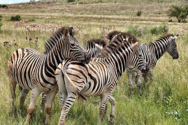 Zebras zebra in grass