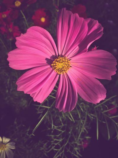 Sulfur cosmos flowers Sulfur Cosmos Flowering Plant Flower Freshness Plant Vulnerability  Fragility Petal Flower Head Close-up Beauty In Nature Pink Color No People Day Cosmos Flower