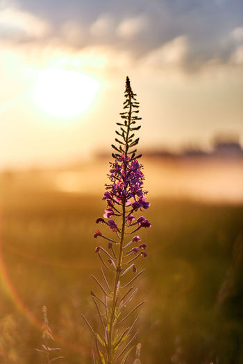 Close-up of purple flowering plant on field against sunset