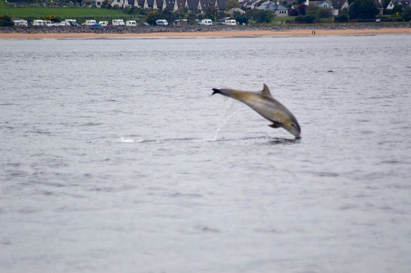 One Animal Animals In The Wild Animal Themes Animal Wildlife Nature Day Mammal Water Animal Fin Jumping Aquatic Mammal Swimming Sea Sea Life Scottish Highlands Scotland Fort George Moray Firth
