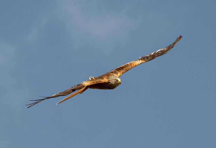 Red Kite In Flight Red Kites Red Kite In Flight Hawk - Bird Animal Wing