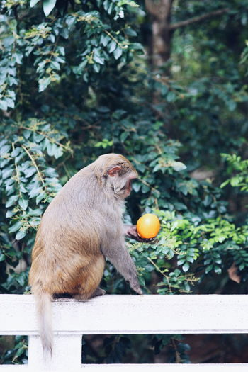 orange inspection Monkey Wildlife Wildlife Photography Wildlife & Nature Hong Kong Tree Close-up Plant Lemon Tree Lemon Orange - Fruit Unripe Blood Orange Zest Lemon Soda Fruit Tree Vitamin C Fruit Orange Tree Juicer Lemonade Sour Taste Citrus Fruit Tangerine Apple Grapefruit Halved The Great Outdoors - 2019 EyeEm Awards