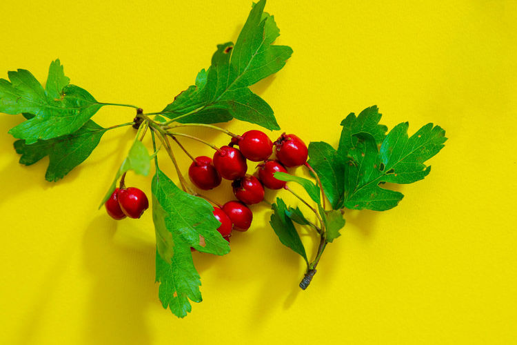 Close-up of cherries on plant against yellow background