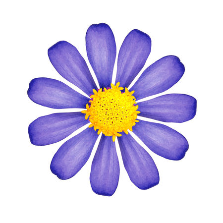 Blue flower isolated on white background. Beautiful blossom with yellow pollen. ( Clipping path ) Flowering Plant Beauty In Nature Blooming Blooming Flower Blue Close-up Directly Above Flower Flower Head Flower Heads Flowering Plant Flowers Fragility Freshness Indoors  Inflorescence Isolated Petal Plant Pollen Purple Studio Shot Vulnerability  White Background Yellow