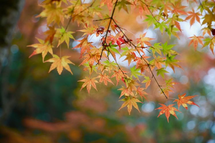 Plant Autumn Plant Part Leaf Beauty In Nature Tree Growth Change Nature Branch Maple Leaf Orange Color Day No People Fragility Close-up Maple Tree Focus On Foreground Outdoors Vulnerability  Leaves Natural Condition Autumn Collection