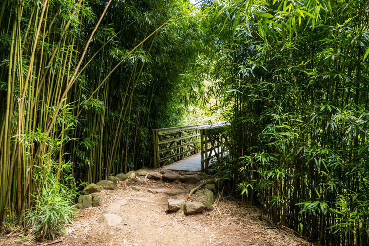 Footbridge amidst bamboos on field