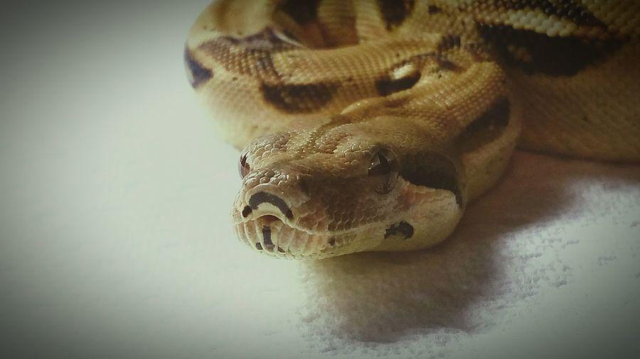 Fitzy boy Redtailboa Snake PetSnake
