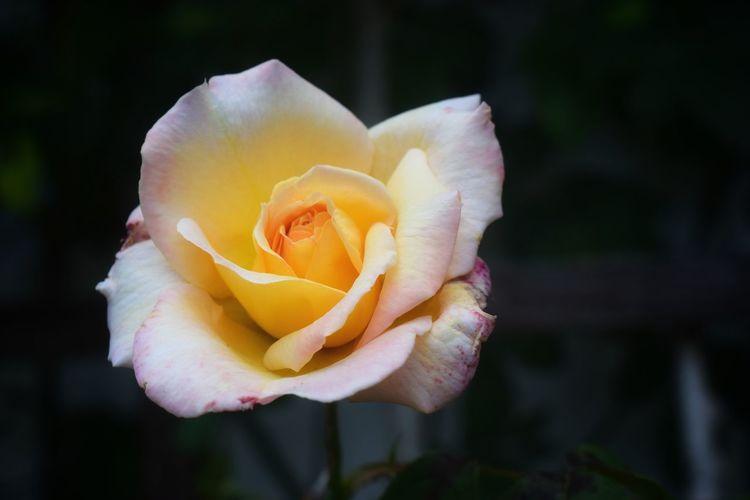 Rosa Rose🌹