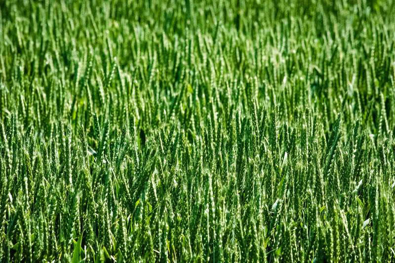 cereals frame Agrarwirtschaft Beauty In Nature Cereals Close-up Eye4photography  EyeEm Germany Field Freshness Full Frame Getreide Green Color Green Colour Growth Landwirtschaft Light And Shadow Natur Nature Nikonphotography Open Edit Roggen RYE Sankt Peter-Ording Schleswig-Holstein The Great Outdoors - 2017 EyeEm Awards Unreif