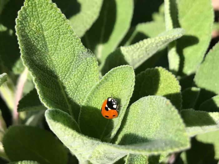 Ladybug Insect Animals In The Wild Animal Themes Green Color One Animal Plant Outdoors Nature