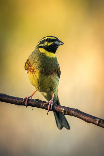 Emberiza Cirlus Hesi-berdantza Escribano Soteño Soteño Bird Animals In The Wild Animal Wildlife Perching Animal Themes Animal One Animal Vertebrate Branch Focus On Foreground Tree Plant No People Twig Nature Day Outdoors Close-up Beauty In Nature
