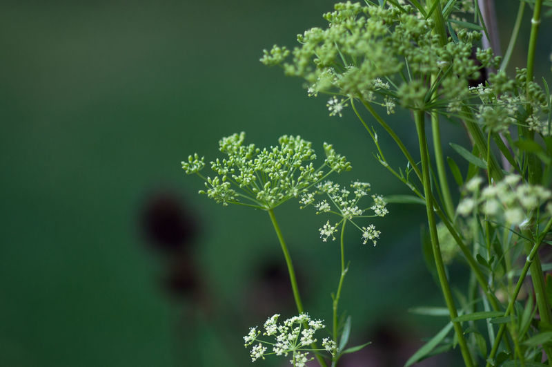 Cow parsley growing outdoors