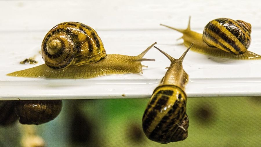 Helix Aspersa Maxima Snail African Snails Animal Antenna Animal Shell Animal Themes Antenna Close-up Crawling Focus On Foreground Gastropod Molluscs Mollusk No People Shell Small Snail Snails
