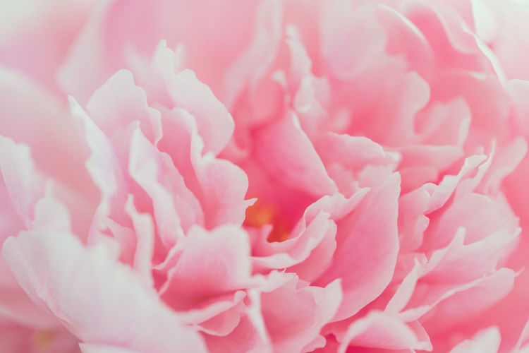 Macro photography of pink peony. The concept of Nature beauty and blossom. Pink Romantic Love Gift Spiral Bouquet Flowers Peony  Flower Valentine Beautiful Fondness Macro Nature Beauty Secret Affection Celebrate Relationship Soft Florist Tenderness Holiday Birthday Wedding Present Congratulation Femininity Filter Photography Floral Red Violet Purple Roses Female Blossom Happy Spring Background Decoration Beauty In Nature The Minimalist - 2019 EyeEm Awards