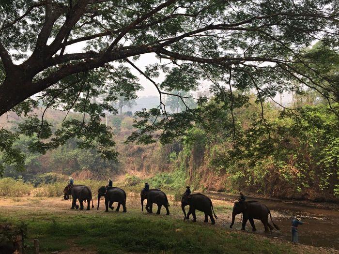 The elephants of Chiang Mai Chiang Mai   Thailand Chiang Dao