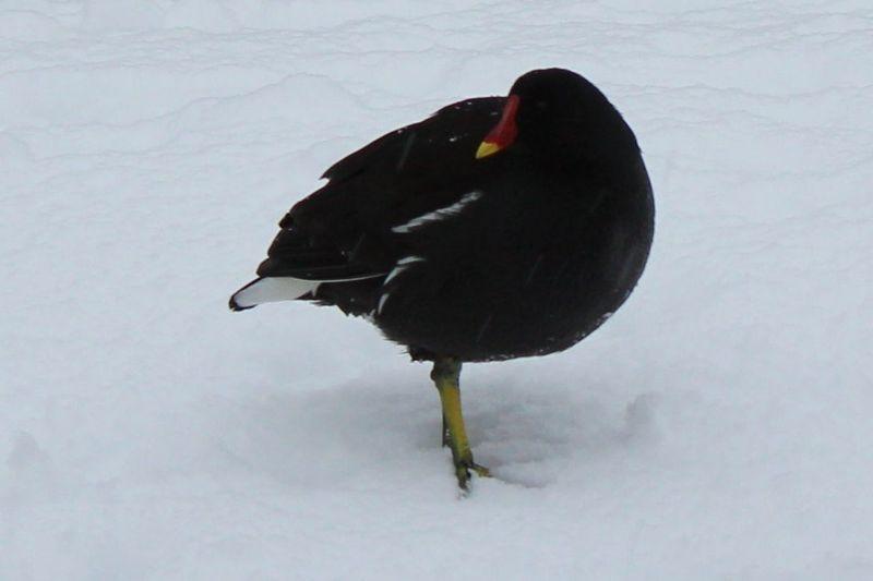 Coot Bird Animal Wildlife Bird Coot In Snow One Animal Snow 2017 Winter Wordsley