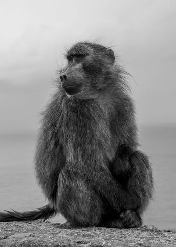 Chillin Animals In The Wild Animal Animal Wildlife Animals In The Wild Baboon Baboon Portrait Bnw_captures Bnw_collection Bnw_life Bnw_worldwide Cape Of Good Hope Close-up Monkey Monkey Business Monkey Face Monochrome Nature No People One Animal Outdoors Portrait Sitting Wildlife Wildlife Animals Black And White Friday