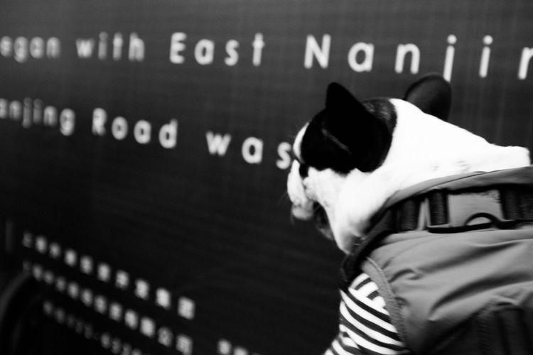 Frenchbulldog Shanghai Street Photography
