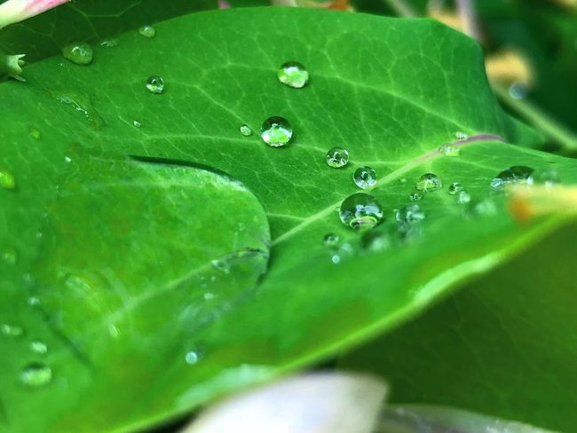 Leaf Plant Part Drop Green Color Water Wet Close-up No People Vulnerability  Beauty In Nature Freshness Day Nature Selective Focus Outdoors Leaf Vein Fragility Plant Growth Dew