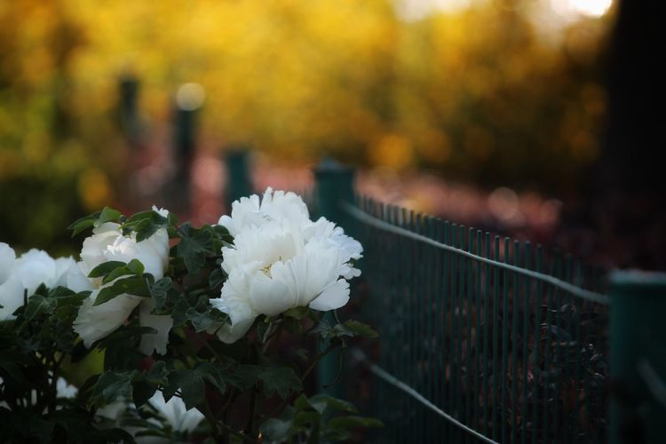Plant Flower Nature Autumn Beauty In Nature Flowering Plant Leaf Plant Part Outdoors Water No People Freshness Day White Color Growth Boundary Focus On Foreground Fence Barrier Tranquility