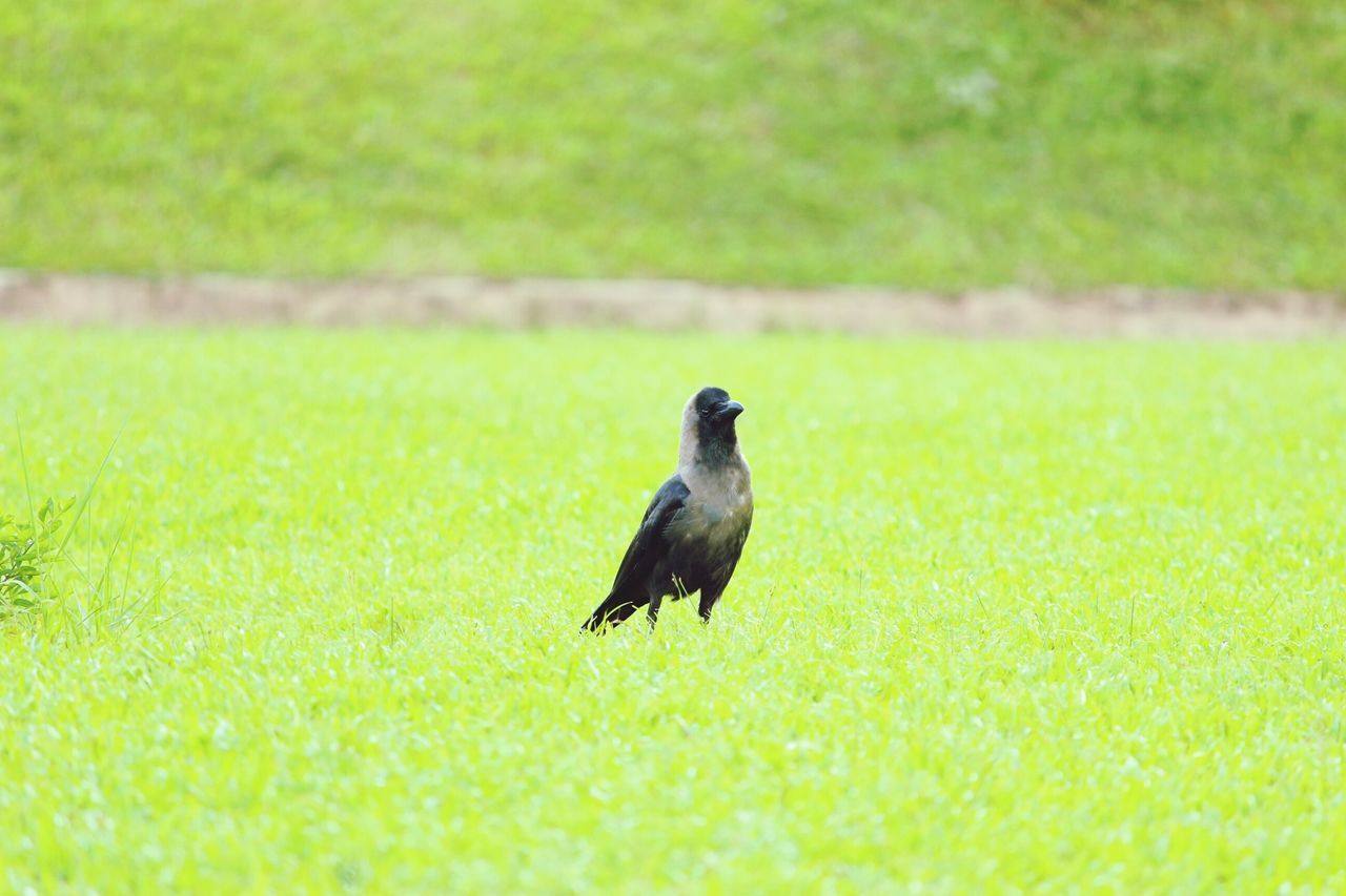bird, animals in the wild, animal themes, one animal, grass, animal wildlife, nature, green color, day, outdoors, field, focus on foreground, no people, crow, raven - bird, perching, beauty in nature, close-up