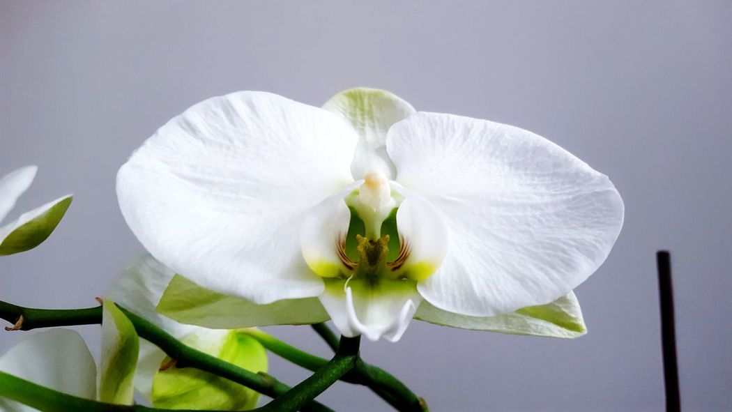my white orchids Orchid Orchids White White Orchid White Orchids Backgrounds White Flowers White Flower House Plant Low Angle View Close-up Flower Contrast Interior Decorating Flower Head Flower Petal White Color White Background Close-up Plant Plant Life Blossom Flowering Plant Botany Focus Passion Flower In Bloom Summer Exploratorium Visual Creativity The Still Life Photographer - 2018 EyeEm Awards