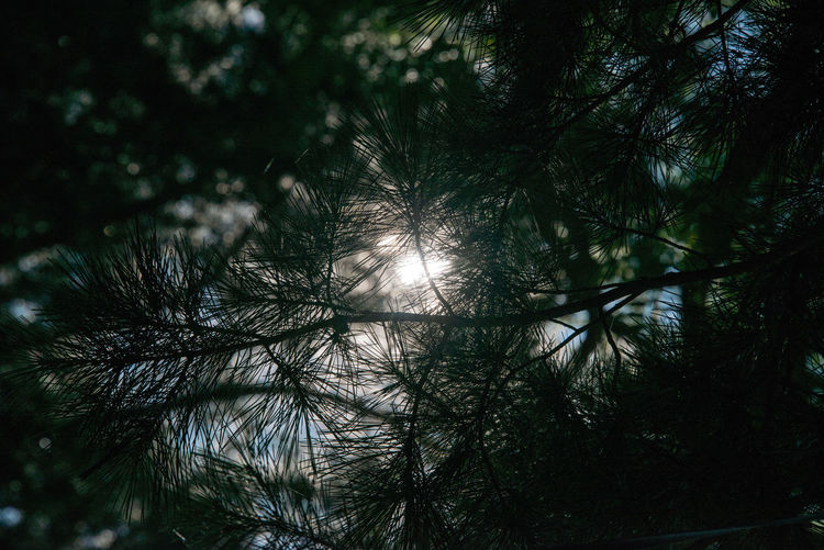 Pine Tree Shade Pines And Sun Summer Shade Of Tree Trees Light And Shadow Trees Leaves 夏 松葉と光