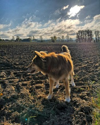EyeEm Selects Standing Pets Sky Animal Themes Cloud - Sky Agricultural Field