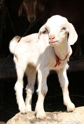 White kid goat standing on rock