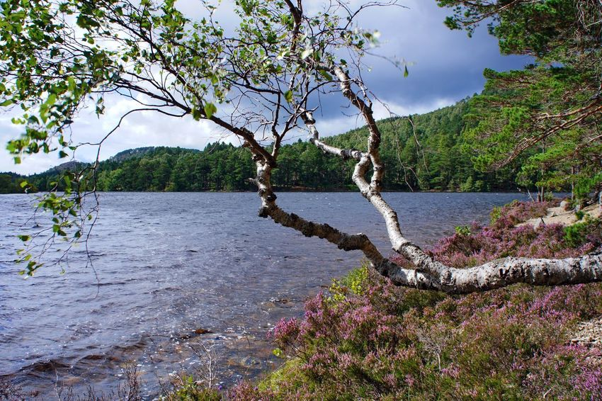 Loch an Eilein Beach Beauty In Nature Birch Branch Day Europe Highlands Holidays Lake Lakeside Loch  Loch An Eilein Nature No People Outdoors Riverside Scenics Scotland Sea Traveling Tree Uk Water