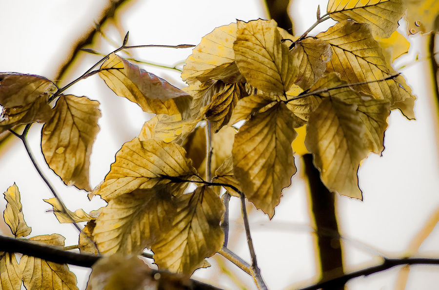 Leaves Autumn Beauty In Nature Branch Change Close-up Day Focus On Foreground Fragility Germany Golden Growth Leaf Leaf Vein Leaves Natural Pattern Nature No People Outdoors Plant Season  Selective Focus Sky Stem Tranquility Twig