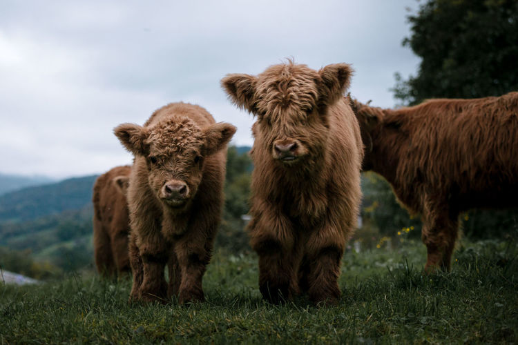 Scottish highland cattle calves babies playing Animal Themes Cow Day Domestic Animals Field Grass Highland Cattle Livestock Mammal Nature No People Outdoors Sky Togetherness Young Animal