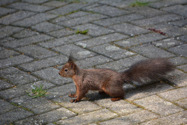 Squirrel Eichhörnchen Animals In The Wild Footpath One Animal Street Mammal Animal Wildlife Cobblestone No People Day Paving Stone Stone High Angle View City Side View Outdoors Full Length Rodent