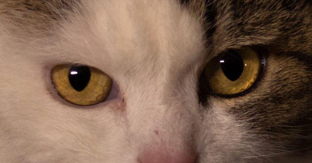 Cat eyes Canon Cat Eyes Focal Point Canonphotography Canonanimals Eyemcat Canoncat Animals Nature Switzerland