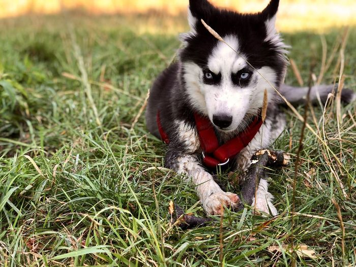 Eye4photography  Dogs Dogs Of EyeEm Popular Photos IPhone Photography EyeEm Best Shots Siberian Husky Husky ShotOnIphone EyeEm Nature Lover Animal Themes One Animal Mammal Animal Domestic Animals Dog Canine Domestic Pets Vertebrate Grass Plant Land Nature Field No People Day Portrait Facial Expression Sticking Out Tongue