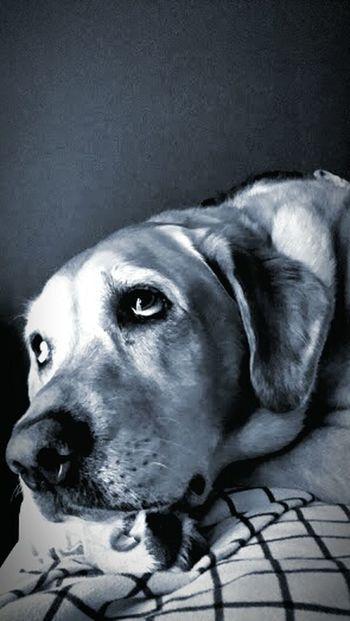 Pets Pet Photography  I Love My Dog Labrador Retriever