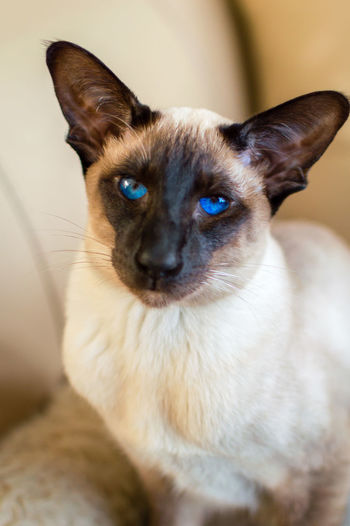 Portrait of siamese cat at home