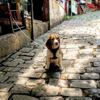 Beagle of Istanbul