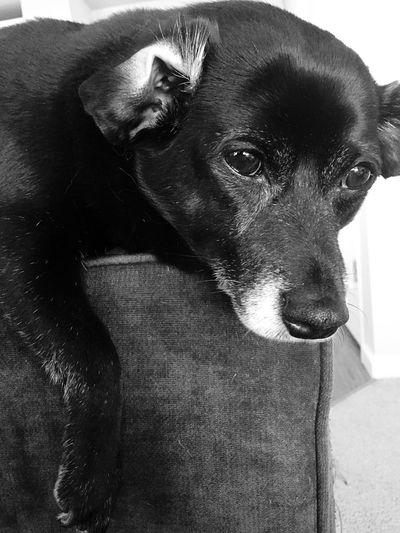 Apollo. Dogs