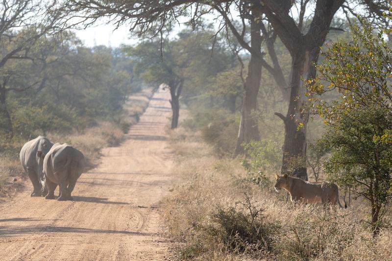 Rhinoceros fighting on dirt road